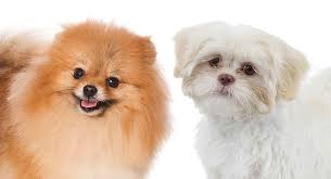 pomeranian shih tzu mix meet the