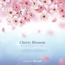 16 176 Cherry Blossom Images Free Download