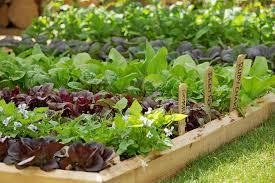 Growing vegetables in school gardens / RHS Campaign for School ...