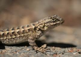 Ask The Naturalist How Do I Know If A Lizard Is Male Or Female