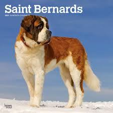 Saint Bernard Lover Gifts Tees Decor Animalden Com