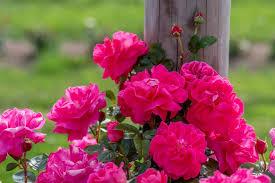 10 Beautiful Easy To Grow Climbing Roses For Your Garden Hgtv