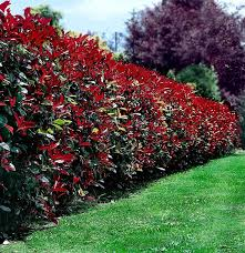 Top 10 Beautiful Plants You Can Grow Instead Of A Fence Page 2 Of 3 Top Inspired Garden Hedges Plants Fence Plants