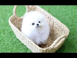 micro teacup pomeranian puppies and