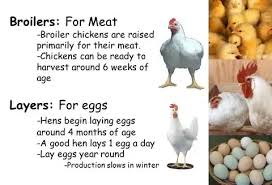 How to Make Money in Poultry Farming