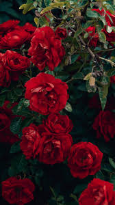 red roses flowers wallpaper and