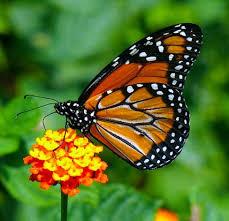 "Borboletas-monarca dispõem de ""bússola interna"" ~ Criacionismo"