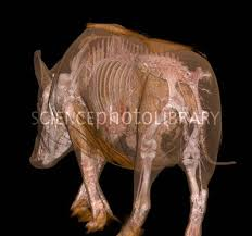 boar anatomy ct scan caza pesca