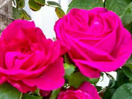 صور ورود جميلة جدا ازهار طبيعية شكلها يشرح القلب صور حب