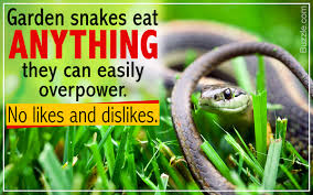 what do garden snakes eat it s not