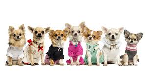 39 chihuahua wallpapers wallpaperboat