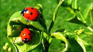 ladybugs beneficial insects help me in