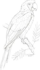 Papegaai Kleurplaten Vogels Tekenen Dieren Tekenen
