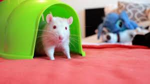 jouer avec son rat croquetteland