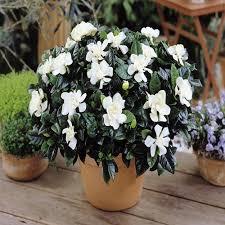 gardenia jasminoides best value