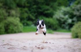 wallpaper sand running boston terrier