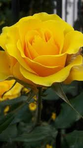 yellow rose hd wallpapers for android