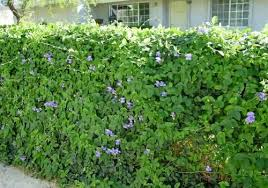 Favorite Vines For Backyard Flower Gardens Birds And Blooms Backyard Flowers Garden Backyard Flowers Fence Plants