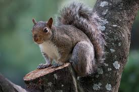 Squirrel Symbolism Dreams And Messages Spirit Animal Totems