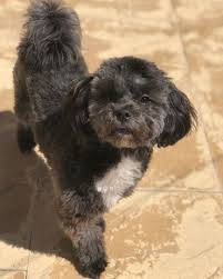 top questions about the shih poo k9 web