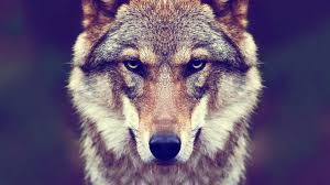 128 4k Ultra Hd Wolf Wallpapers Background Images Wallpaper Abyss