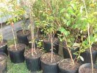 Natchez White Crepe Myrtle - (Jackson) for Sale in Jackson ...