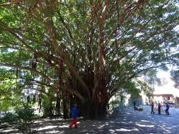 heritage trees of cape town continued
