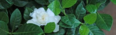 leaves of gardenia turning yellow