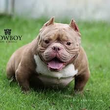 TNT KENNEL - ฟาร์มสุนัขอเมริกันบูลลี่ ที.เอ็น.ที. AMERICAN BULLY by TNT  KENNEL THAILAND