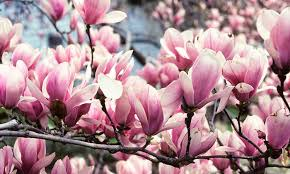 Beverboom: Magnolia soulangeana