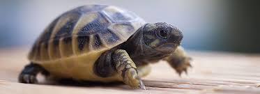 Tortoises As Pets Care Information Petsmart