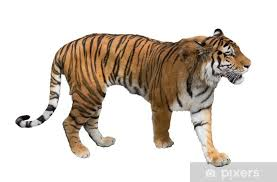 Isolated On White Large Tiger Wall Mural Pixers We Live To Change