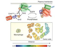 """Journal of Biological Chemistry on Twitter: """"Wei Lin, Sohum Mehta and Jin  Zhang of @UCSD explore how genetically encoded #biosensors can unravel the  dysregulation of #kinase signaling in #cancer in a new #"""