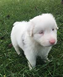 Double Merle Awareness Day - Home | Facebook