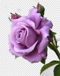 زهرة الورد الوردي وردة الأرجواني لافندر زهرة حمراء وردة بنفسجي Png