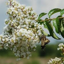 How to Care for Natchez Crepe Myrtles
