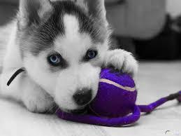 صور كلاب هاسكي الجميلة بجودة عالية لمحبي الكلاب