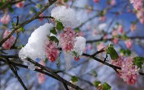 Arbustes à fleurs, ils annoncent le printemps! - La terre est un ...