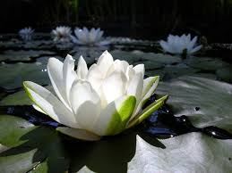 lotus flower hd resolution lotus flower good morning