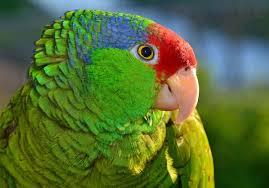 صور ببغاء الامازون الجميلة الذكية المتكلمة Amazon Parrots عالم الصور