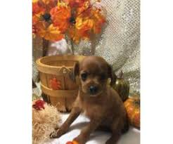 8 weeks old chihuahua poodle mix