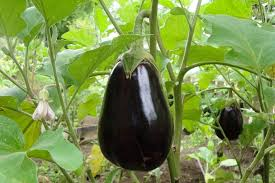 eggplant planting growing and