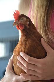 صور لـ دجاجة الدجاج البياض أيادي النساء دجاج بشري