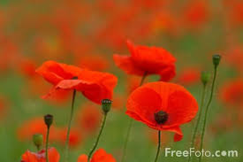 poppy pictures free poppies pictures