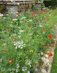 growing wildflowers for bees and