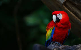 macaw parrot wallpaper 67 images