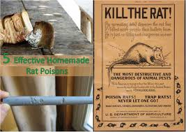 5 effective homemade rat poisons home