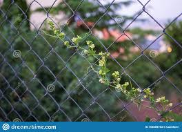 Climbing Plant On A Wire Fence Stock Image Image Of Blue Blossom 154608763