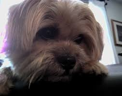 Two year old Shorkie, Cleo West on her birthday...April 14, 2012. (With  images) | Shorkie dogs, Sweet animals, Cleo