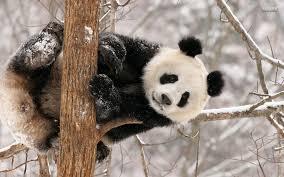 panda bear wallpapers wallpaper cave
